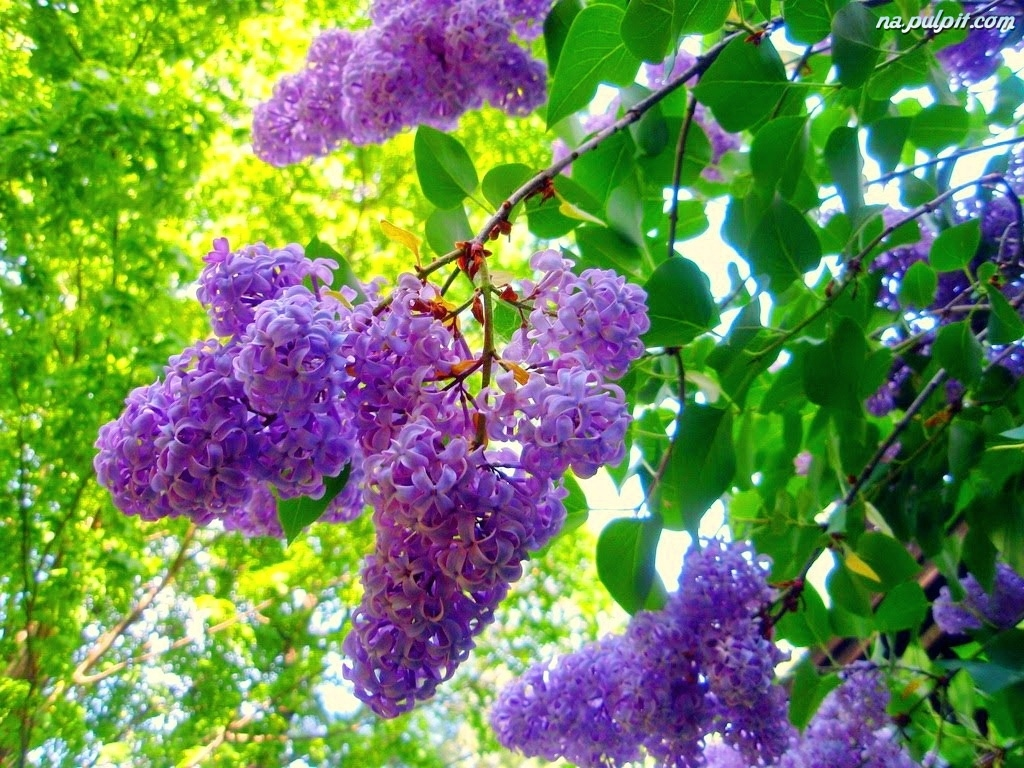 How to Make Lilac Jelly  Yes Lilacs are Edible as Well